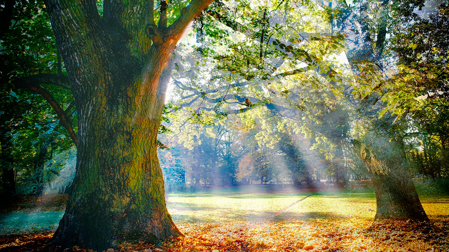 Sunbeams stream into a forest