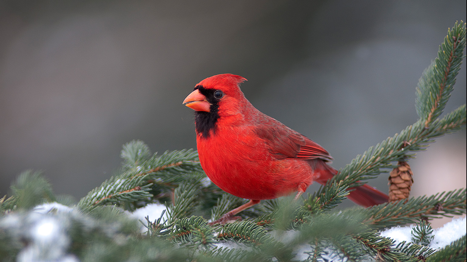 A bright red cardinal on a snow-covered tree branch